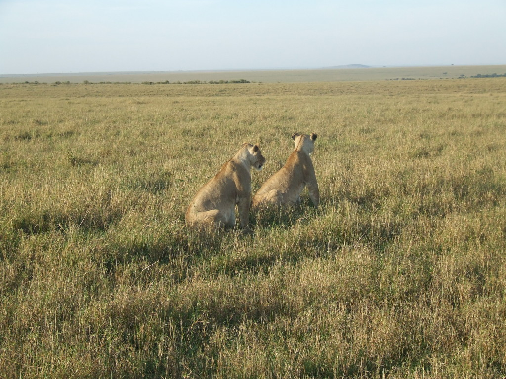 Sharing the morning sunrise and a magical moment with two lionesses in Kenya's Masai Mara